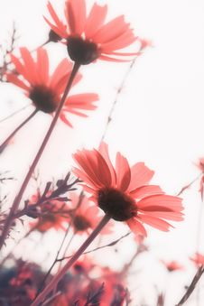 Free Pink Flowers Royalty Free Stock Photography - 29481147