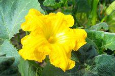 Free Pure Pumpkin Flower Stock Image - 29481271