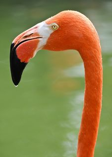 Free Flamingo Stock Photos - 29483003