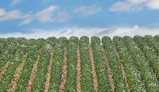 Free Rows Of Soybeans Royalty Free Stock Photography - 29483387