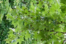Free Chestnut Tree Royalty Free Stock Image - 29484266