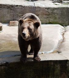 Free Big Brown Bear In City Zoo Stock Photos - 29487123