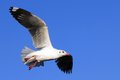 Free Flying Seagull Royalty Free Stock Photos - 29493308