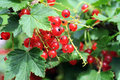 Free Red Currant Royalty Free Stock Photo - 29497985