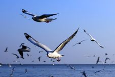 Free Seagulls In Flight Stock Images - 29493334