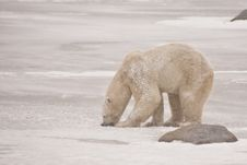 Snow Covered Polar Bear Gnawing On Ice Stock Images