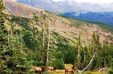 Free Colorado State Wild Elks Family Stock Photo - 29495050