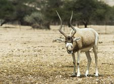 Free The Antelope Addax Royalty Free Stock Photo - 29496545