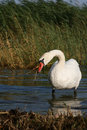 Free Swan Stock Images - 2952004