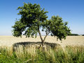 Free Two Trees And Field Royalty Free Stock Photography - 2952927