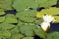 Free White Yellow Waterlily Lotus Stock Photos - 2953603