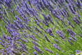 Free Provence Lavender Royalty Free Stock Photos - 2958668