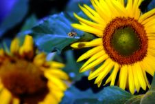 Free Sunflower Bumblebee Royalty Free Stock Image - 2950056
