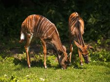Free Feeding Young Antelopes Stock Images - 2951144
