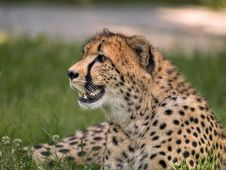 Free Cheetah Royalty Free Stock Images - 2951259
