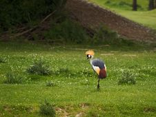 Free Grey Crowned Crane Stock Photo - 2951390