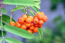Free Cluster Of A Mountain Ash Royalty Free Stock Photos - 2951488