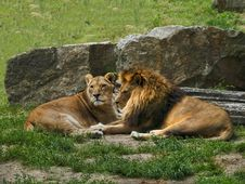 Free Lion And Lioness Rest Royalty Free Stock Photo - 2951945