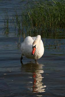 Free Swan Stock Image - 2952011