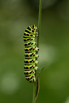 Free Papilio Machaon Larva Stock Photos - 2952083