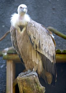 Free Griffon Vulture 1 Stock Photo - 2952130