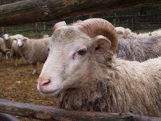 Free Sheep Royalty Free Stock Photography - 2952157