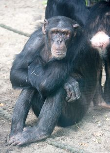 Free Chimpanzee 7 Stock Photos - 2953373