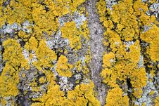 Free Yellow Lichen On Tree Bark Stock Images - 2953594