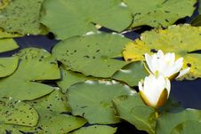 Free White Yellow Waterlily Lotus Stock Photos - 2953603