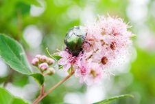 Free Green Beetle Eating Nectar Royalty Free Stock Photo - 2953605