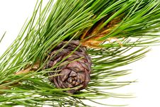 Siberian Cedar Branch And Cone Stock Photo