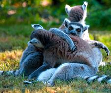 Free Ring-tailed Lemurs Stock Photo - 2954230