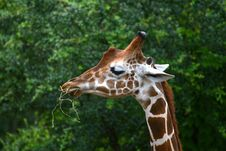 Free Eating Giraffe Stock Photos - 2954823