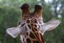 Free Giraffe S Back Head Royalty Free Stock Images - 2954929