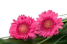Free Two Daisies On Green Leaf Stock Photo - 2955070