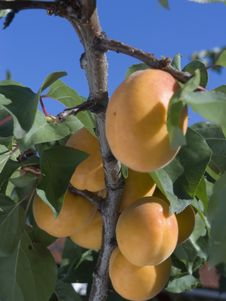 Free Apricots Royalty Free Stock Photos - 2956118