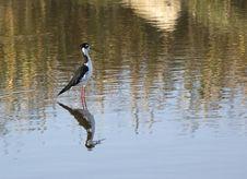 Black-necked Stilt Stock Photo