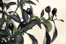 Small Black Hot Chilli Pepper Royalty Free Stock Images