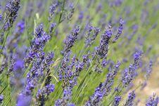 Provence Lavender Detail Stock Image