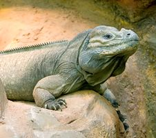 Free Rhinoceros Iguana 6 Royalty Free Stock Photography - 2959787