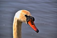 Free Close Up Of A Swan Stock Photos - 29500023