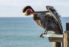 Free Pelican Stock Image - 29502251