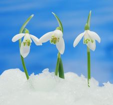 Free Snowdrops In Snow Royalty Free Stock Photography - 29502787