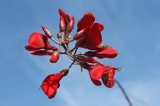 Free Flowes Of Coral Tree &x28;Erythrina&x29; Royalty Free Stock Photos - 29507408