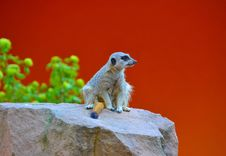 Free A Meerkat Stock Photography - 29513422