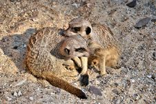 Free Two Meerkats Playing Stock Images - 29513534