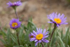 Violet Camomiles &x28;the Alpine Aster&x29; Royalty Free Stock Photography