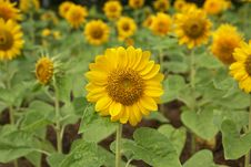 Free Sunflower Royalty Free Stock Images - 29519629