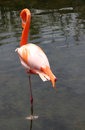Free Lonely Graceful American Flamingo Stock Images - 29520174