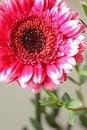 Free Beautiful, Artistic Gerbera Flower Royalty Free Stock Image - 29530786